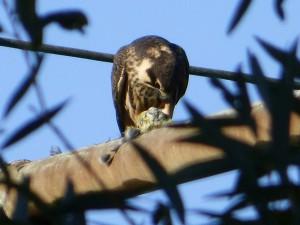 Junger Baumfalke kröpft Kleinvogel am 30.09.15 Foto: Hartmut Peitsch