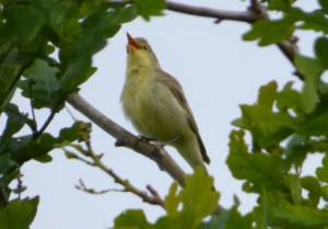 Gelbspötter singend am 24.05.15  Foto: Hartmut Peitsch