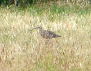 Brachvogel mit Beute im Schnabel am 08.07.15  Foto: Hartmut Peitsch