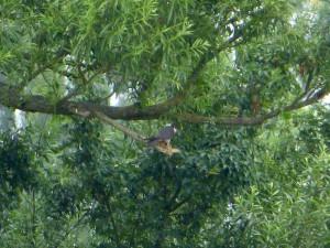 Baumfalke kröpft Kleinvogel am 12.07.15  Foto: Hartmut Peitsch