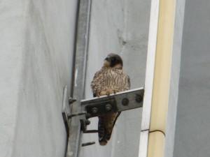 Der 2. Jungvogel am Zechenturm, 24.05.15 Foto: Hartmut Peitsch