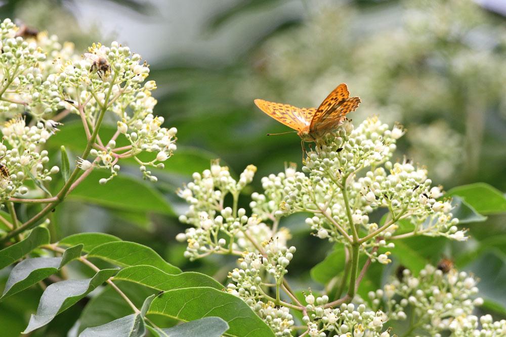 ...hier bei hochsommerlichen Temperaturen mit männlichem Kaisermantel, zahlreichen Bienen und anderen blütenbesuchenden Insekten, 24.07.2015 Foto: Bernhard Glüer