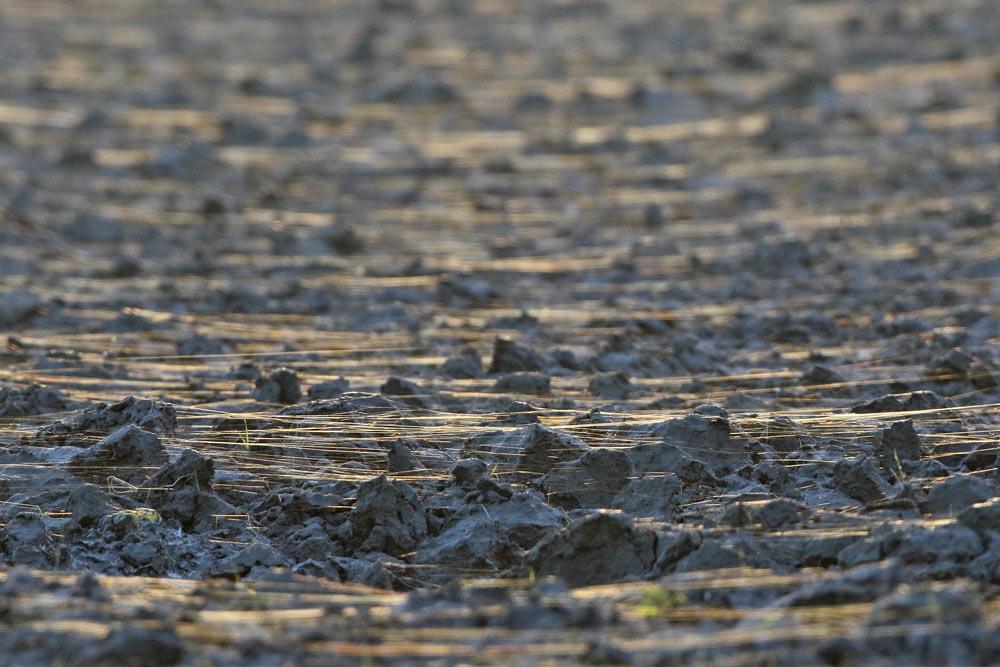Im Hemmerder Ostfeld zeigen die glitzernden Spinnweben auf den Ackerflächen, dass noch Myriaden weiterer Spinnen unterwegs sind, 15.12.2015 Foto: Bernhard Glüer
