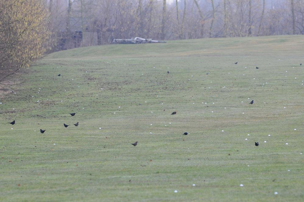 Während sich die Beobachtungen des Buntspechtes über das ganze Gelände verteilen, konzentriert sich hier eine große Gruppe Amseln gleichzeitig an einem Punkt am 22.02.2015 Foto: Marvin Lebeus