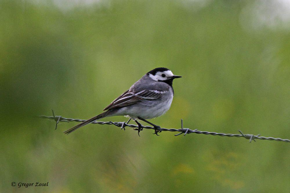 Einer der häufigsten Brutvöel in und an der Kiebitzwiese dürfte wohl die Bachstelze sein. Überall heute auch wieder futtertragende Altvögel...am 31.05.15 Foto: Gregor Zosel