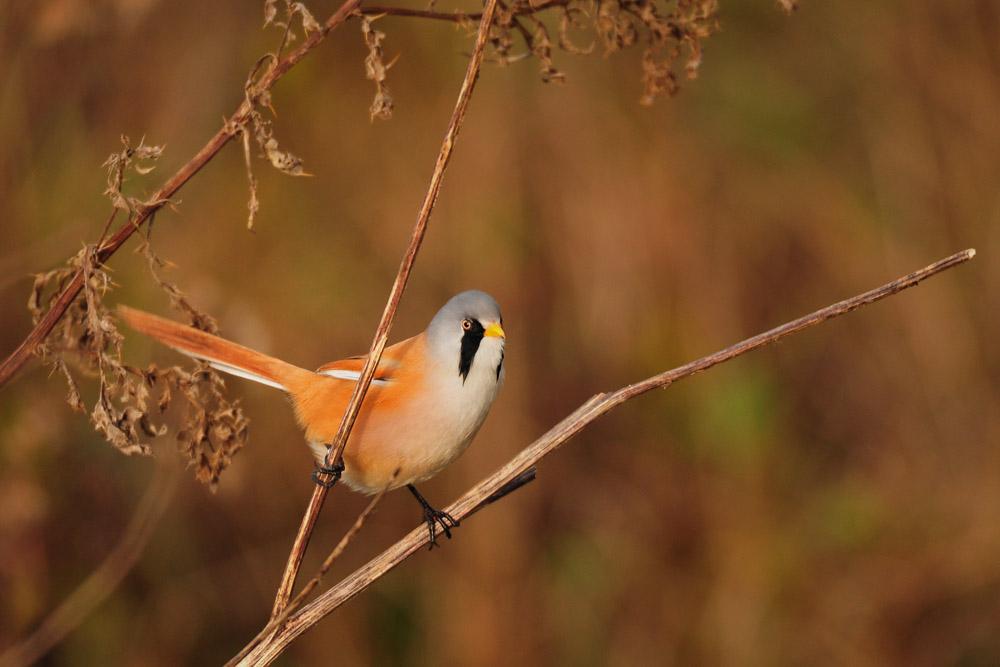 Die Bartmeise ist mitlerweile wohl alleine, der Jungvogel wurde vor einer Woche zuletzt gesehen, am 22.11.2015 Foto: Marvin Lebeus