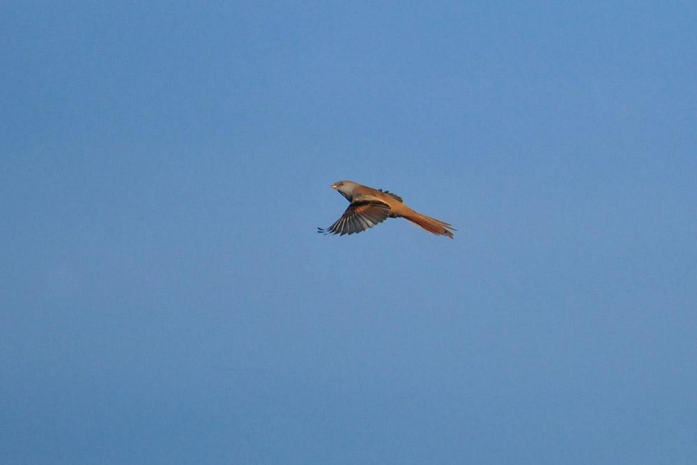 ...und Abflug, der Jungvogel dreht eine Runde. Dabei hält er ständigen Kontakt mit dem anderen Vogel...am 31.10.2015 Foto: Marvin Lebeus