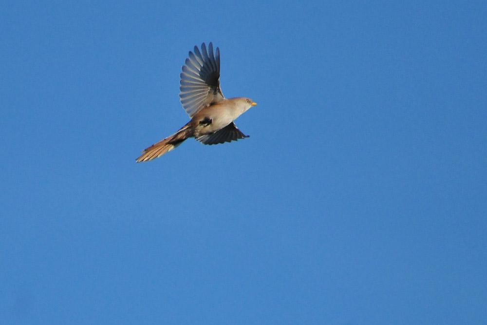 ...und Anflug, der Jungvogel ist von seiner Erkundungstour zurück...am 31.10.2015 Foto: Marvin Lebeus