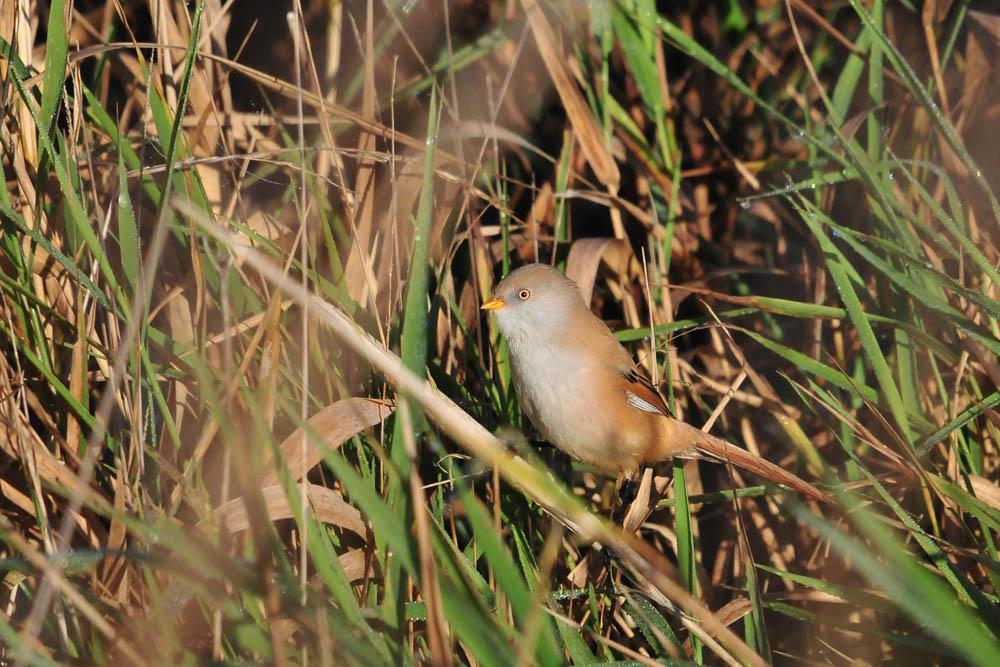 ...nicht nur schön anzusehen, diese Vögel sind auch äußerst sozial. Sie halten sich ähnlich wie Distelfinken in großen und kleinen Familienverbänden auf. Möglicherweise sind diese beiden Bartmeisen auch miteinander verwandt...am 31.10.2015 Foto: Marvin Lebeus