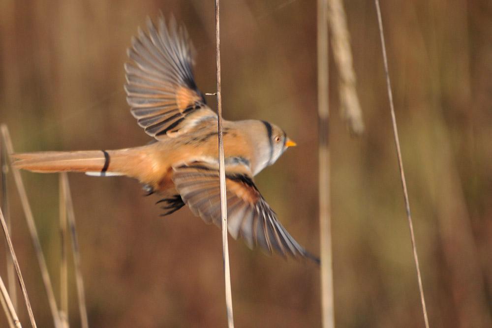 ...tolle Flugsilhouette, leider nur unscharf erwischt...am 05.11.2015 Foto: Marvin Lebeus