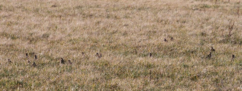 Nur in Bewegung sind die bestens getarnten Bekassinen einigermaßen zuverlässig zählbar - hier verbergen sich 19 (!) Exemplare, 21. 02.2015 Foto: Bernhard Glüer