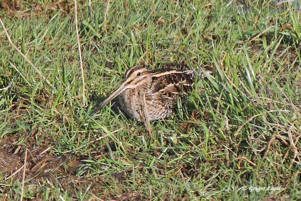 Völlig entspannt liegt diese Bekassine im nassen Gras....am 30.03.15 Foto: Gregor Zosel