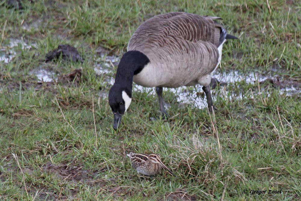 Nanu, was liegt den da für ein seltsamer Vogel im Gras? Neugierig betrachtet die Kanadagans den kleinen Schnepfenvogel....am 30.03.15 Foto: Gregor Zosel
