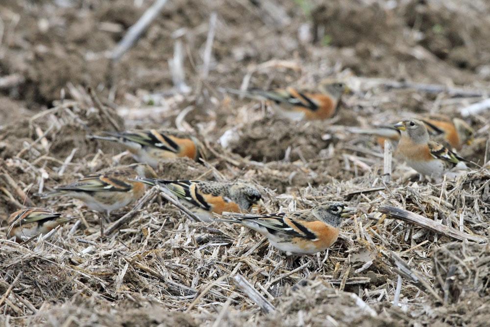... entdeckte man auf dem Ackerboden überall Bergfinken..., 24.10.2015 Foto: Bernhard Glüer