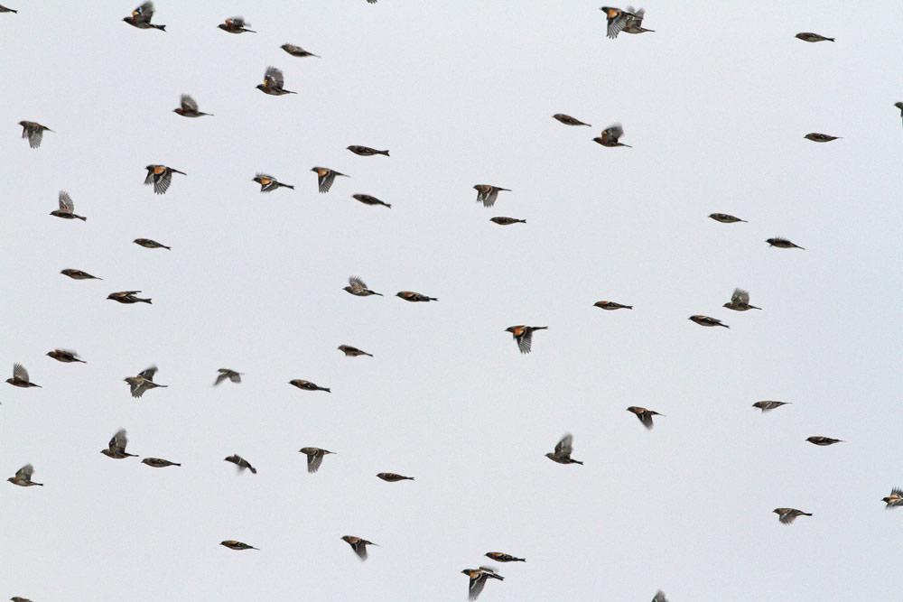 Ein Teil eines fast artreinen Schwarms von Bergfinken..., 24.10.2015 Foto: Bernhard Glüer