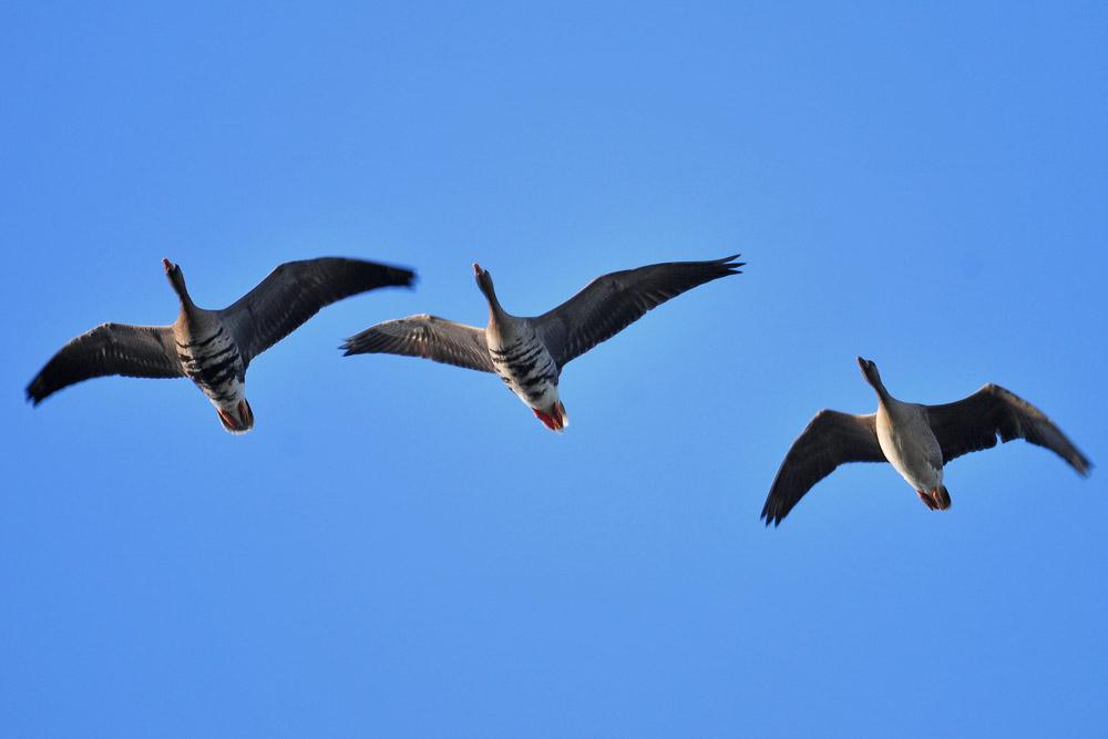 Überfliegende Blässgänse, links fliegen zwei adulte Vögel, rechts ein Jungvogel noch ohne erkennbare Querbänderung am Bauch, am 21.11.2015 Foto: Marvin Lebeus