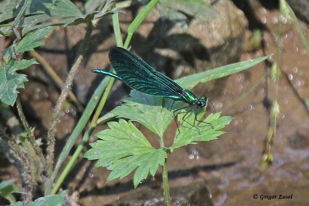Am Bieberbach entdeckte ich die seltene Blauflügelprachtlibelle.....am 11.07.15 Foto: Gregor Zosel