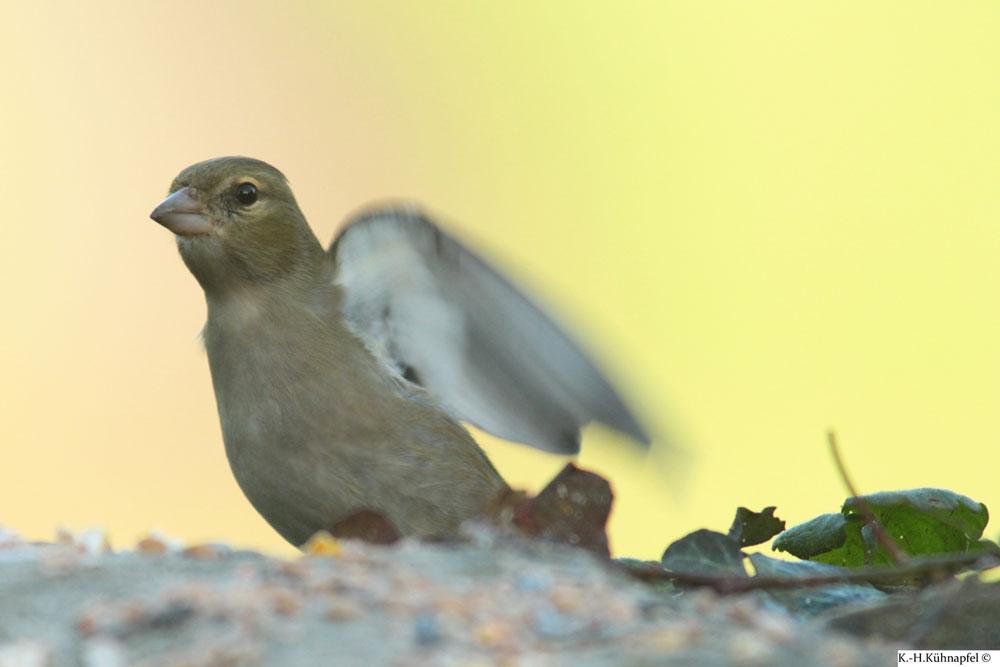 Buchfink-Weibchen drohend, Kamen am 03.12.2015 Foto: Karl-Heinz Kühnapfel