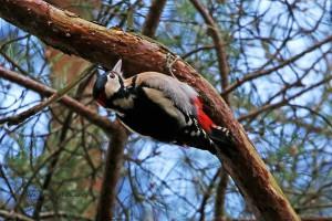 Ein weiterer Buntspecht an einem anderen Baum. 27.11.2015, Foto: Günter P. Reinartz