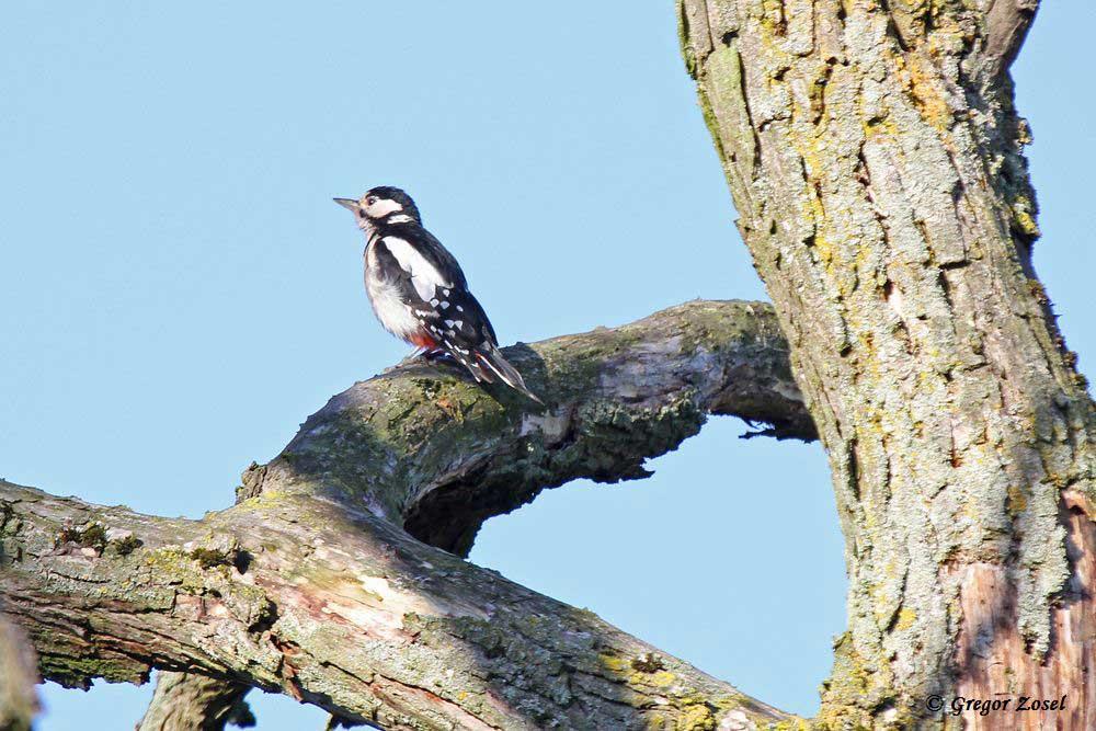 Buntspecht auf dem abgestorbenen Baum nahe der Alten Eiche ......am 26.07.15 Foto: Gregor Zosel