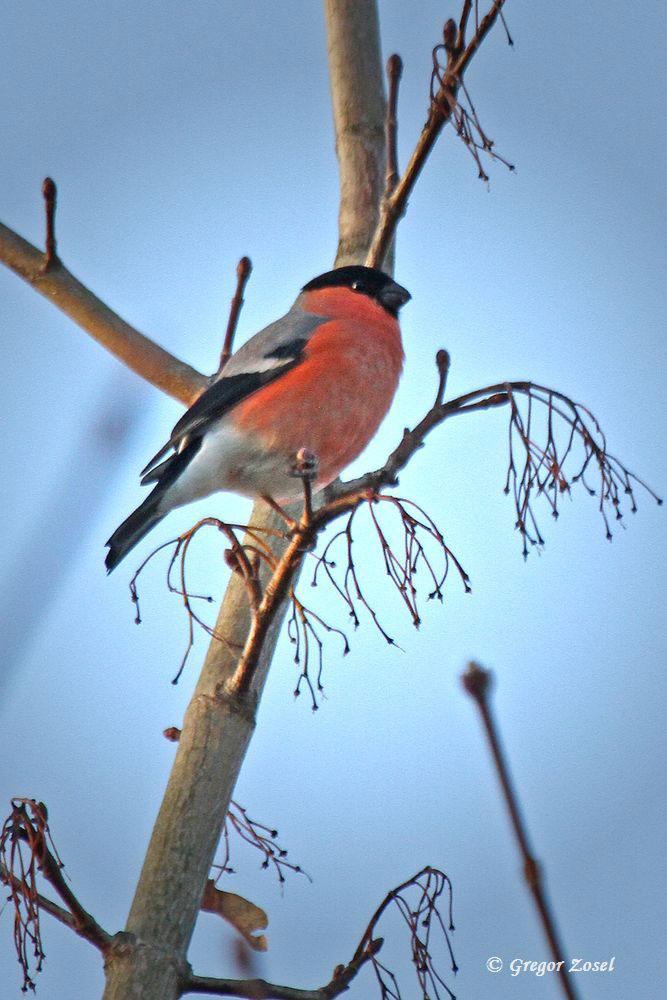 Einer der drei Dompfaffe in den Baumwipfeln der Parkanlage...am 20.12.15 Foto: Gregor Zosel