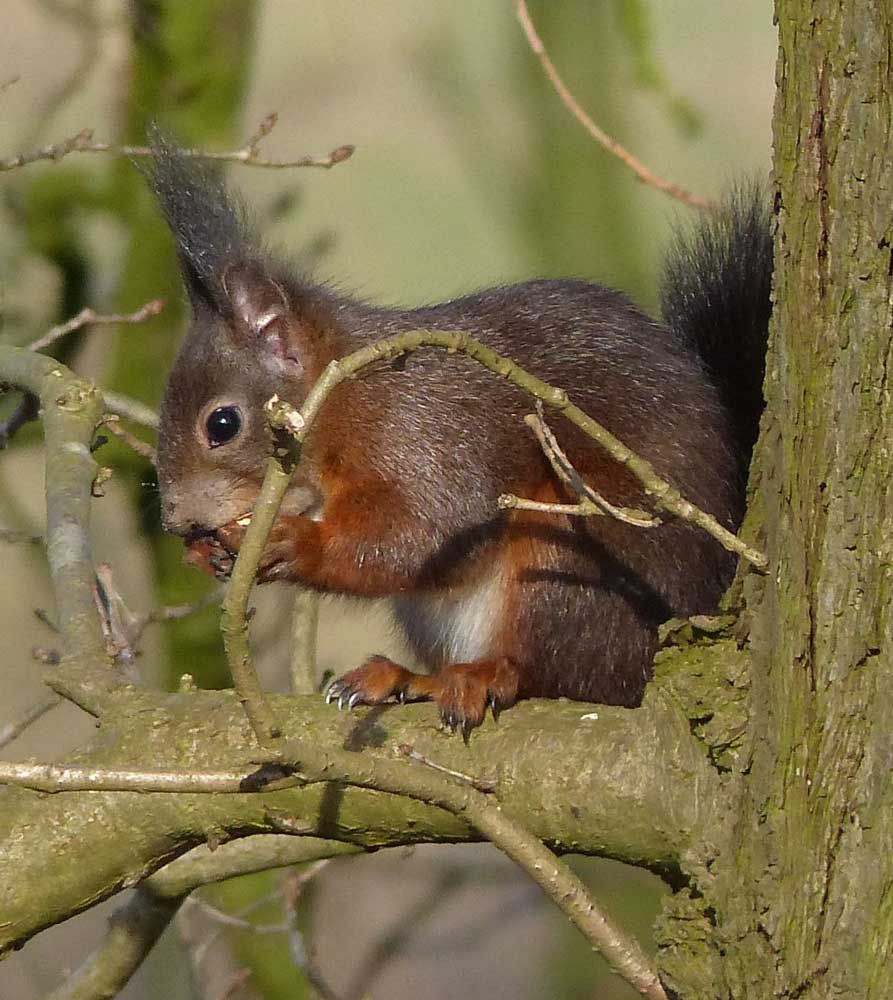 Eichhörnchen, 13.02.2015 Foto: Horst R. Kraft