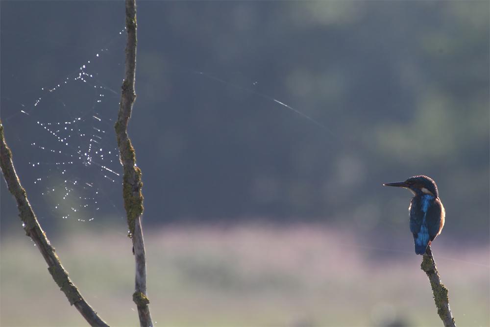 Wenn das mal gut geht ... Eisvogel vor dem Netz. Foto G. Goßmann