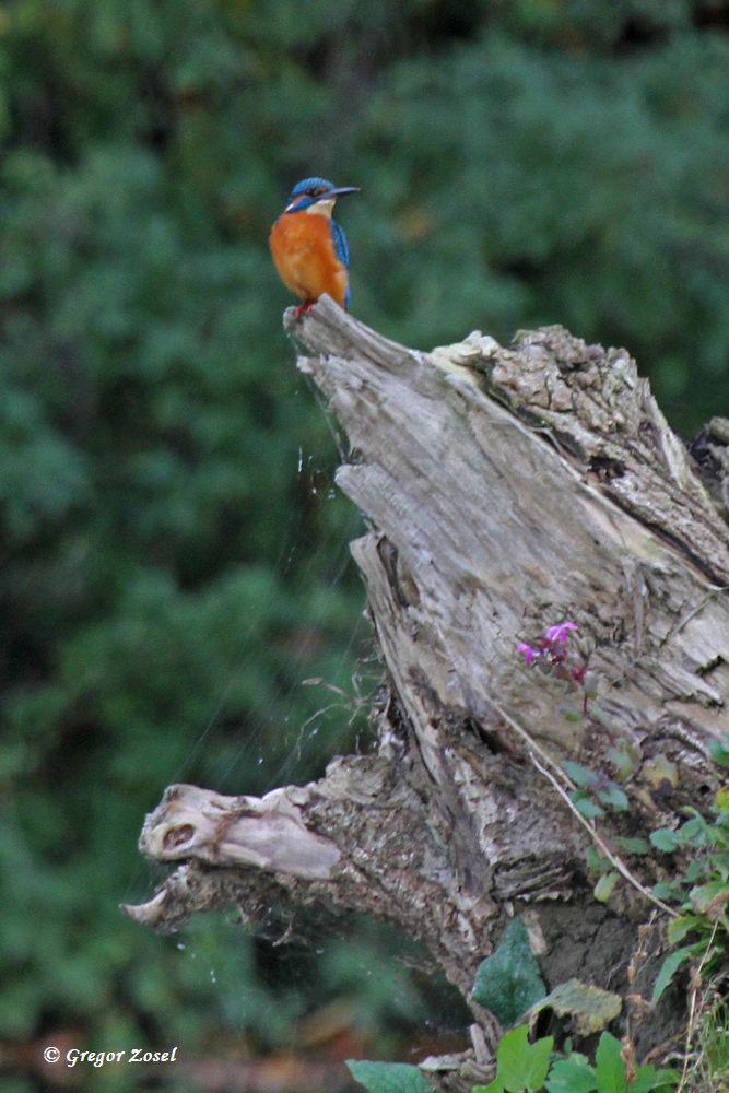 Aber auch auf den Baumstämmen im Ruhrbett kann man den fliegenden Edelstein entdecken.....am 26.10.15 Foto: Gregor Zosel