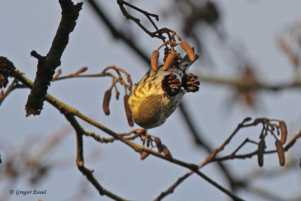 Erlenzeisig macht seinem Namen alle Ehre.......am 24.12.15 Foto: Gregor Zosel