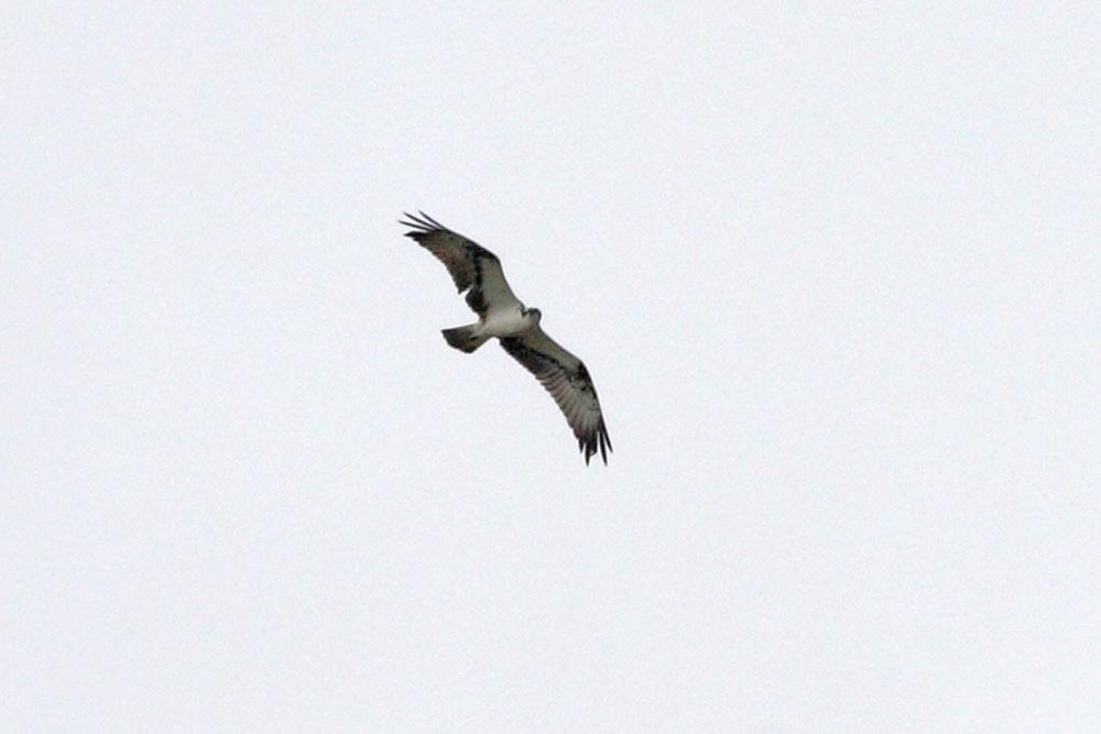 Adulter Fischadler auf dem Wegzug bei Frömern kreisend, 19.09.2015 Foto: Bernhard Glüer