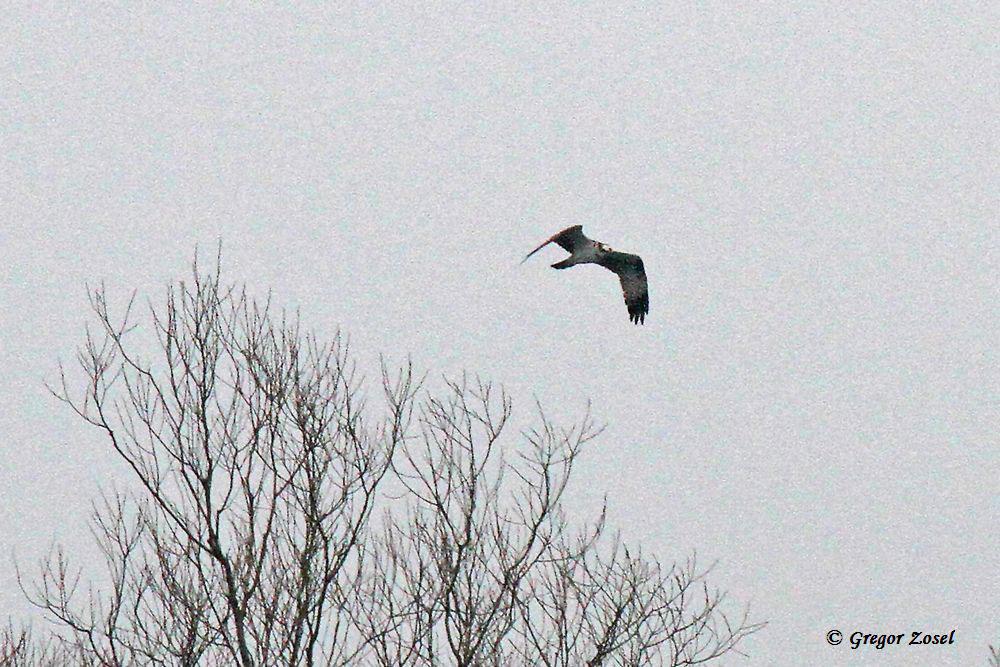 Durchziehender Fischadler....am 08.04.15 Foto: Gregor Zosel