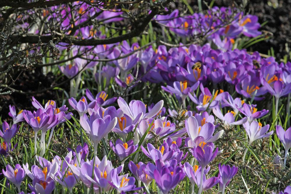 Blütenpracht der Krokusse auf dem Bönener Friedhof, 13.02.2015 Foto: Bernhard Glüer