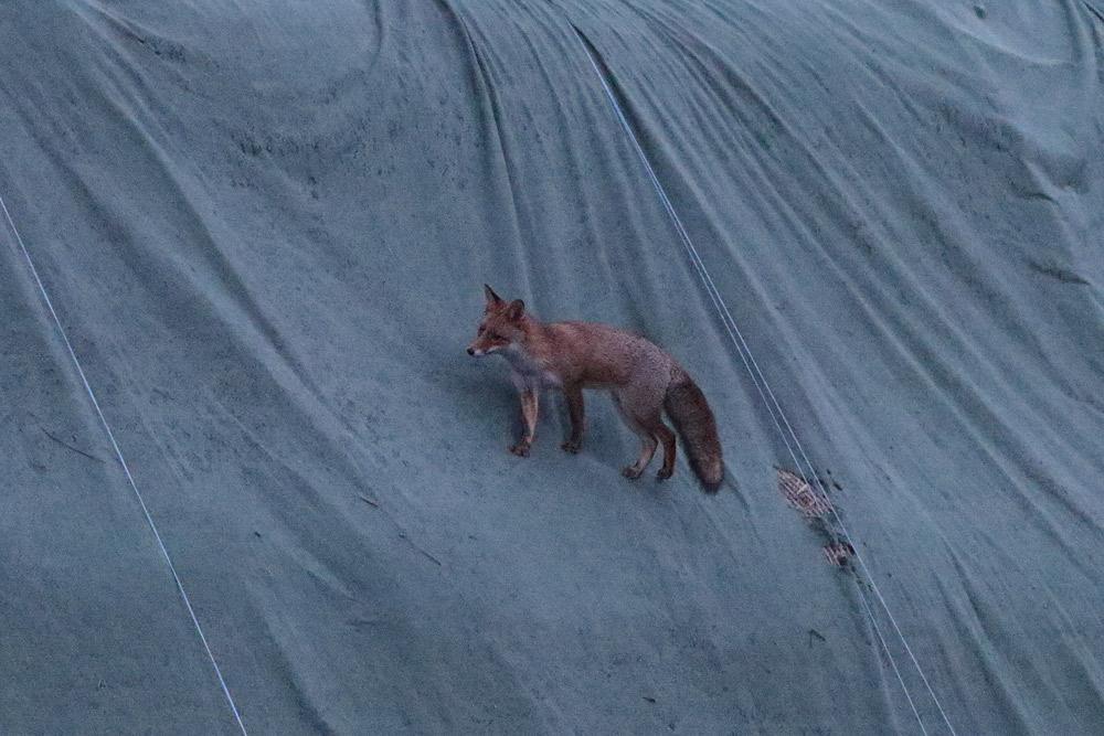 ... ein zweiter Fuchs (ohne weiße Schwanzspitze) besteigt das `Strohgebirge´ ..., 22.11.2015 Foto: Bernhard Glüer