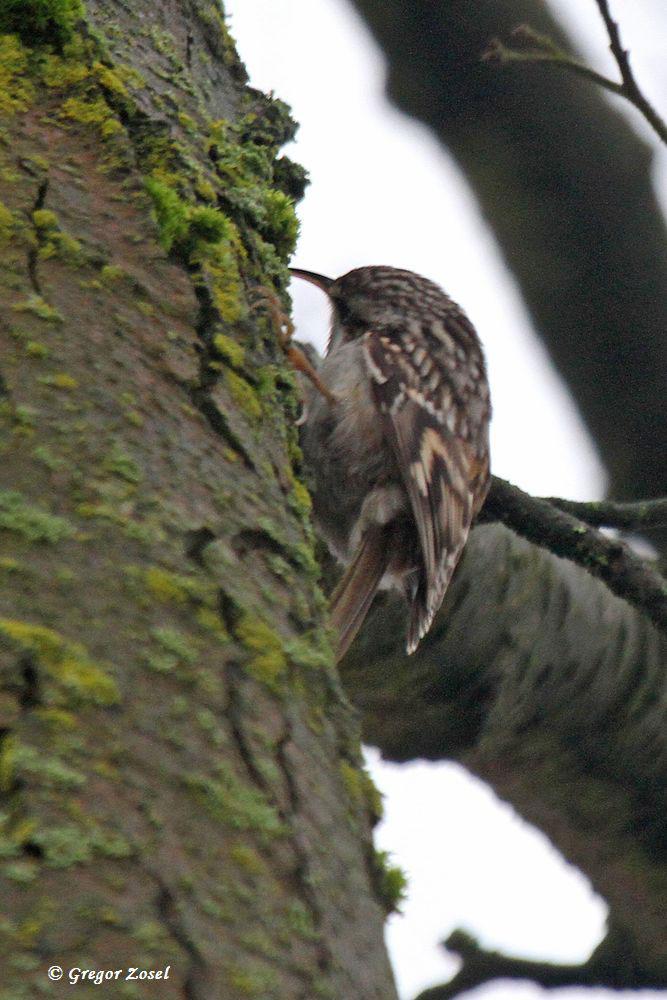 Hinter eines Baumes Rinde......am 25.01.15 Foto: Gregor Zosel
