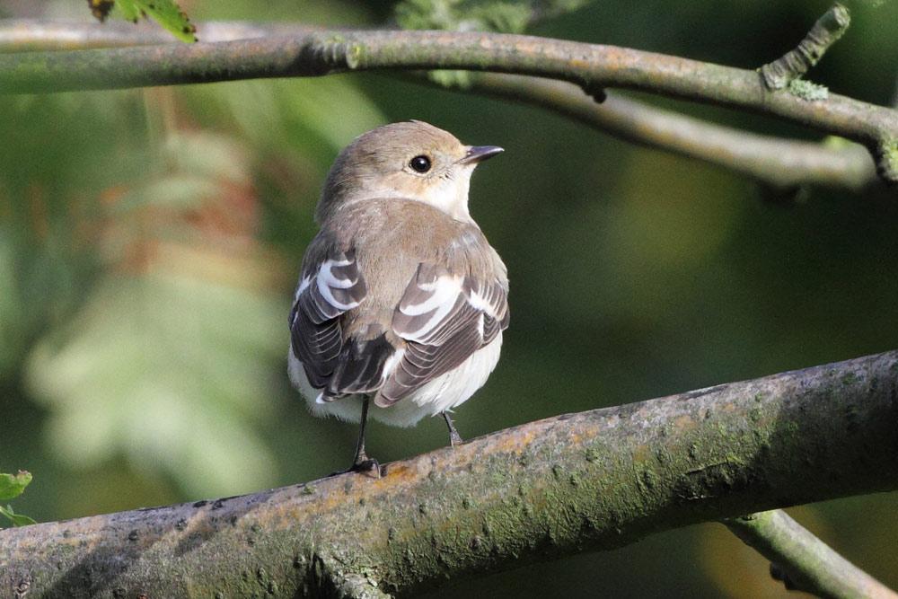 Mit diesem Bausenhagener Vogel konnte erstmals in Nordrhein-Westfalen ein Halsbandschnäpper auf dem Herbstzug gefunden werden, 18.09.2015 Foto: Bernhard Glüer