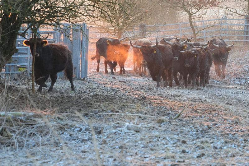 Viele Zentner Heckrindfleisch kommen direkt auf uns zu.....am 07.02.15 Foto: Marvin Lebeus