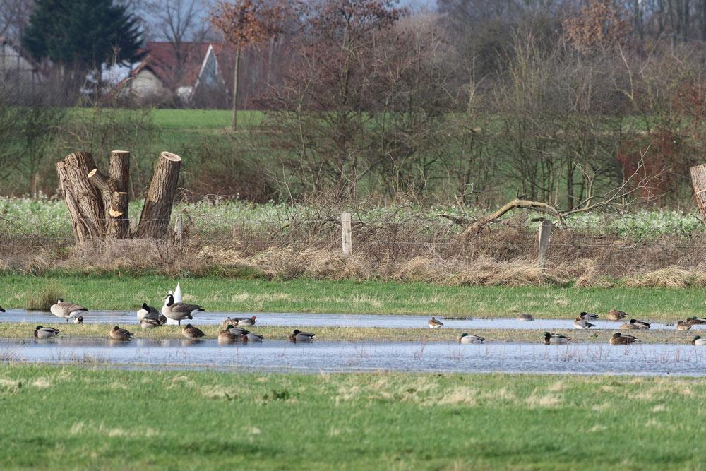 Wasservogelschar (mit einzelnen Pfeifenten) in den Hemmerder Wiesen, 22.12.2015 Foto: Bernhard Glüer
