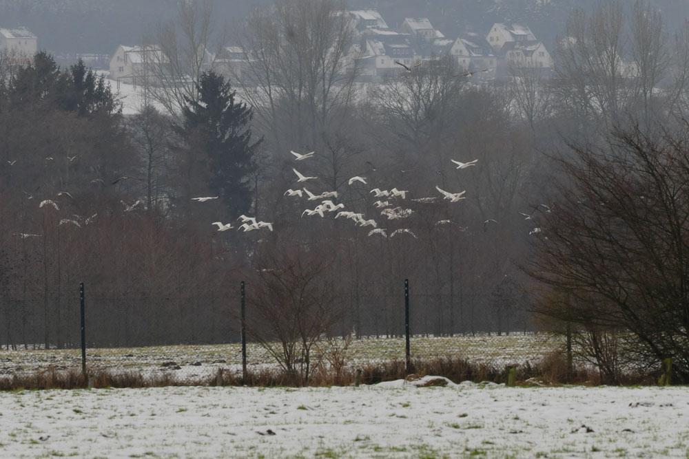 Aufgeschreckte Höckerschwäne flüchten über das Hammer Wasserwerk am 31.01.2015 Foto: Marvin Lebeus