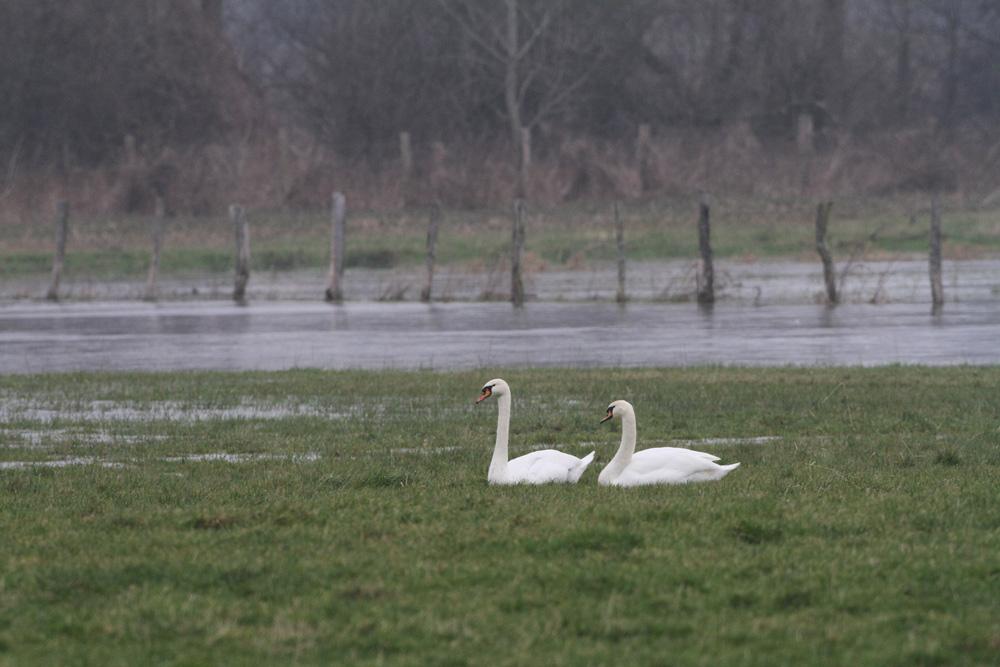 Ebenfalls etwas fehl am Platze wirken diese beiden Höckerschwäne auf dem Trocknen - ihr Gewässer (Hemmerder Wiesen) ist zugefroren, 23.01.2015 Foto: Bernhard Glüer