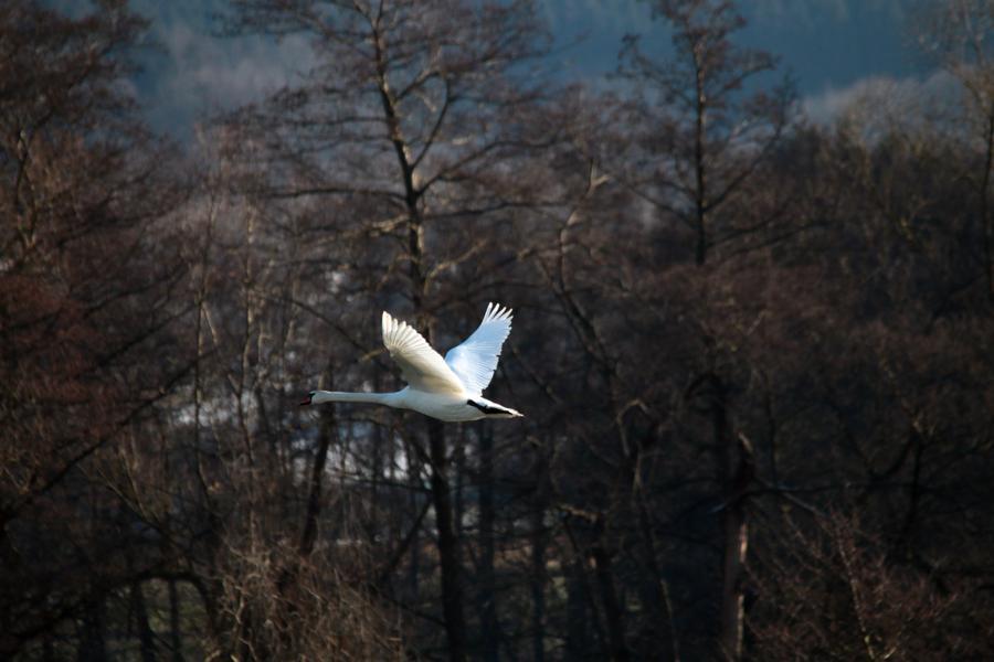 Höckerschwan über der Kiebitzwiese in Fröndenberg am 04.02.2015 Foto: Günter Reinartz