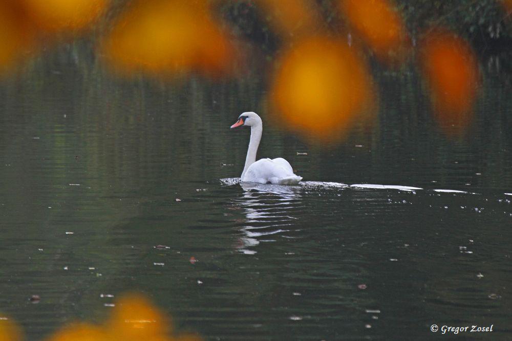 Herbstimpression mit Höckerschwan....am 21.10.15 Foto: Gregor Zosel