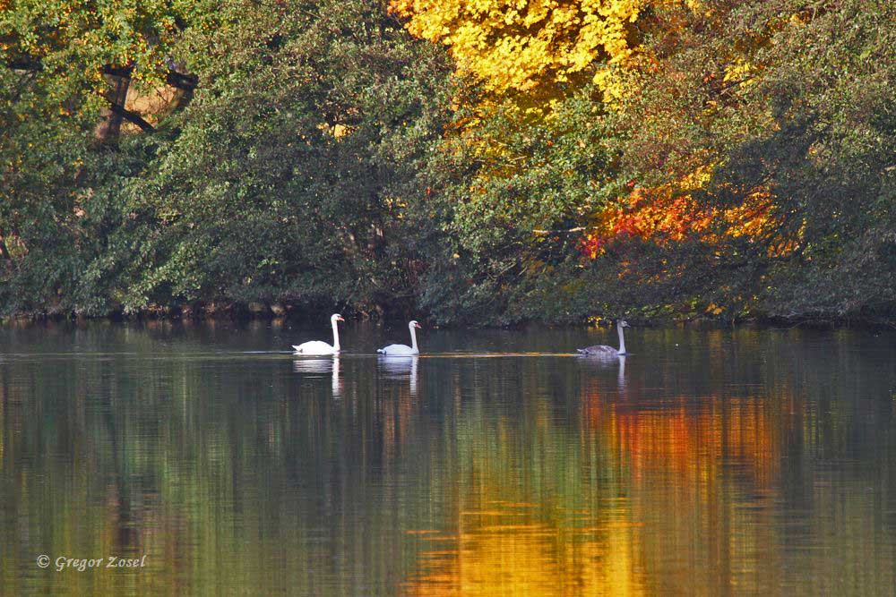 Das bunte Herbstlaub und die Morgensonne setzen diese Höckerschwäne ins richtige Licht...am 23.10.15 Foto: Gregor Zosel
