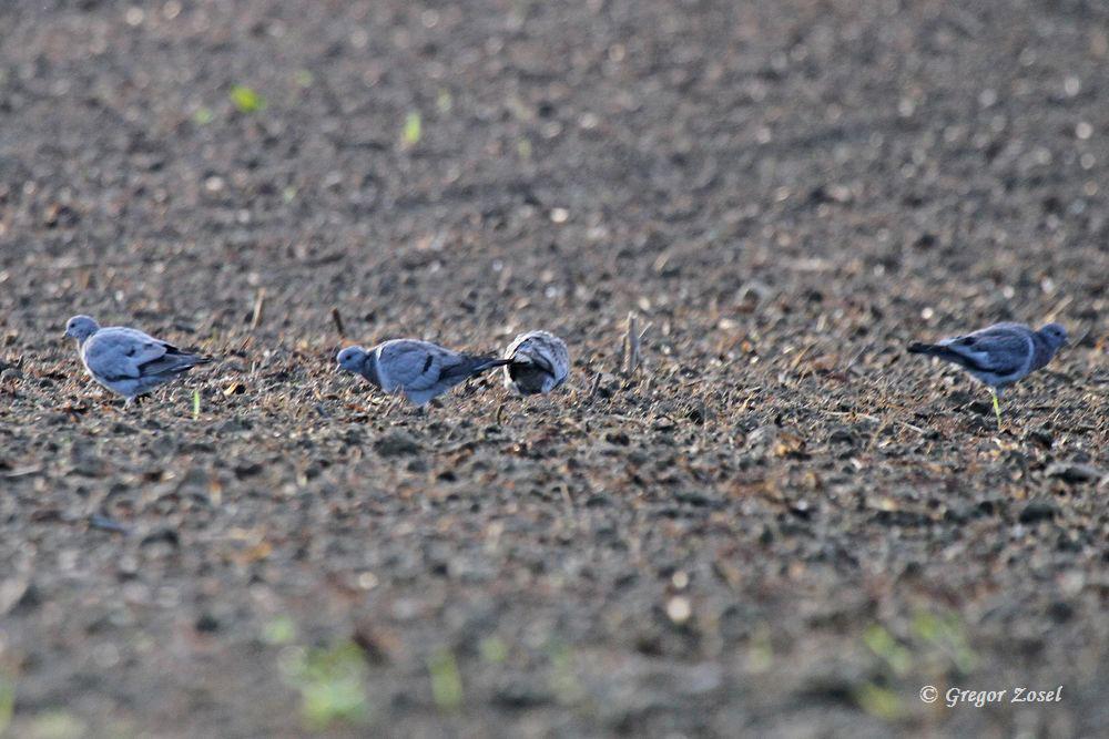 Hohltauben auf einem Feld bei Bentrop....am 18.09.15 Foto: Gregor Zosel