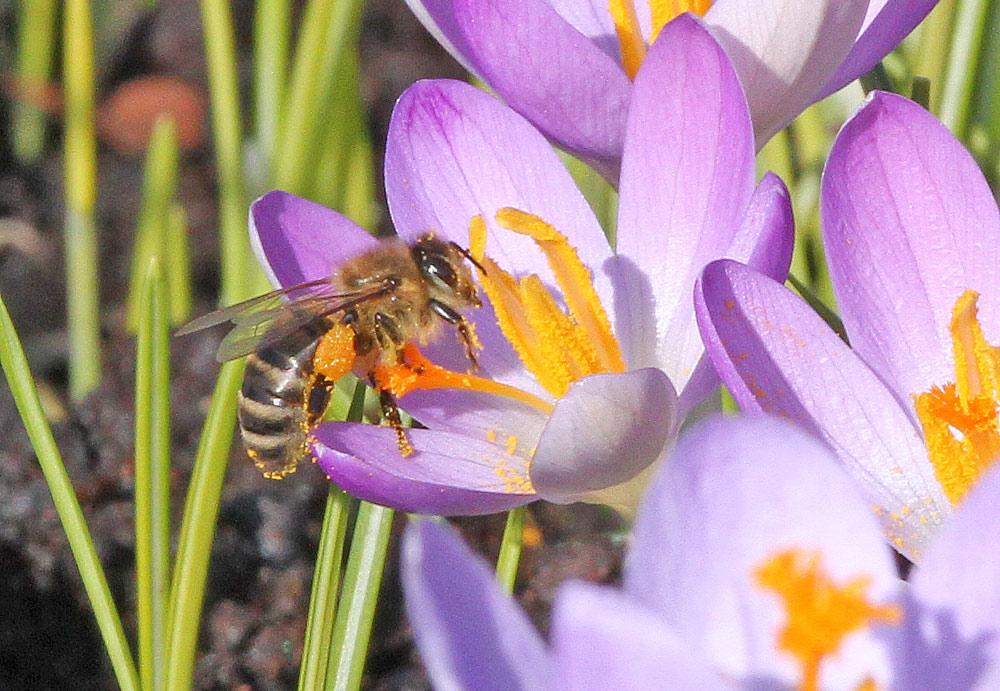Mit `Pollenhöschen´ beladene Honigbiene auf dem Bönener Friedhof sorgt sich bereits um erste Bienenbrut, 13.02.2015 Foto: Bernhard Glüer