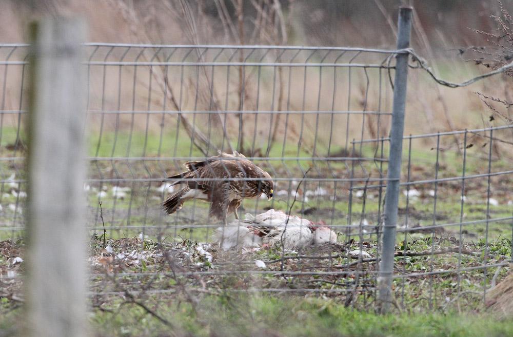 Hinter diesem Zaun sieht man den Grund für das ausdauernde Kreisen des Rotmilans, 28.01.2015 Foto: Bernhard Glüer
