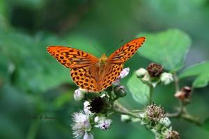 Hier das Männchen, erkennbar an den dunklen Streifen im Flügel, Foto: G.Reinartz 15.07.2015