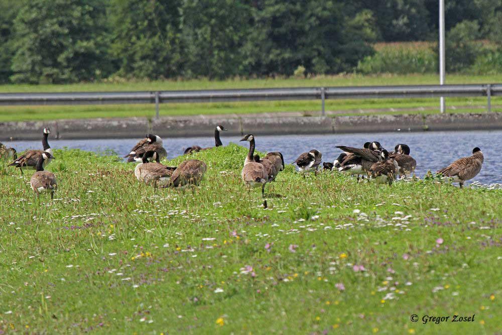 Auf den bunten Blumenwiesen finden die Kanadagänse paradiesische Zustände....am 21.07.15 Foto: Gregor Zosel