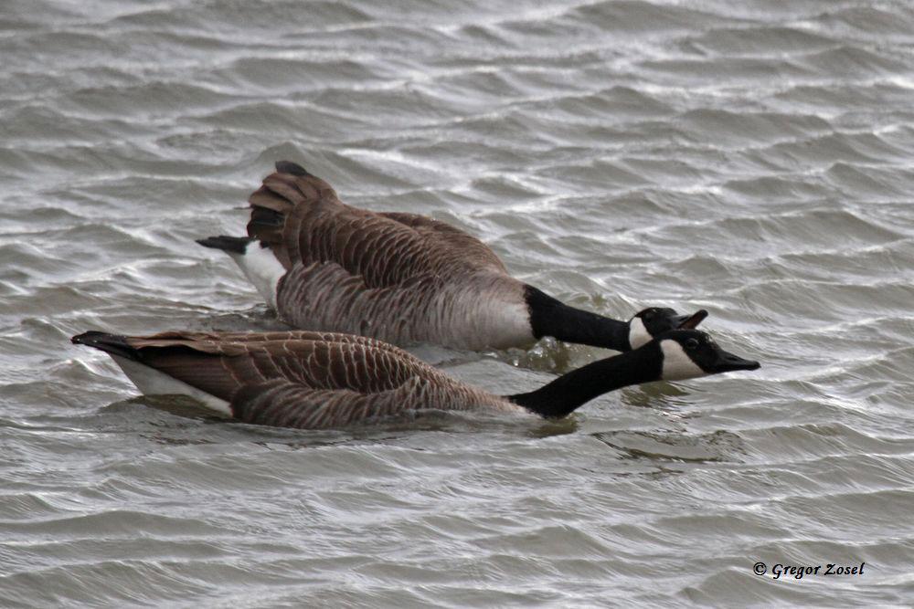 Die ersten Kanadagänse bilden Paare und balzen schon kräftig.....am 24.02.15 Foto: Gregor Zosel
