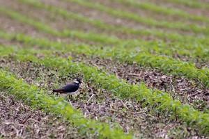 Kiebitz in den Feldern von Bergkamen Heil Foto: (Günter P. Reinartz)