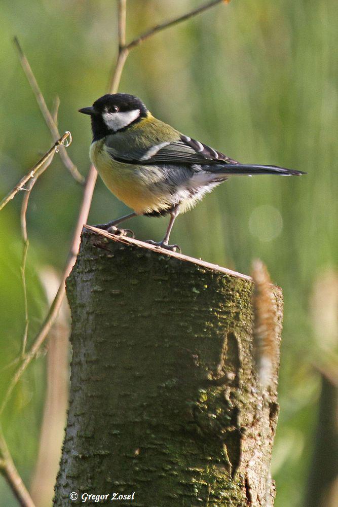 Bei den Kohlmeisen sind die meisen Jungvögel schon flügge und werden von den Eltern weiter mit Futter versorgt...am 31.05.15 Foto: Gregor Zosel
